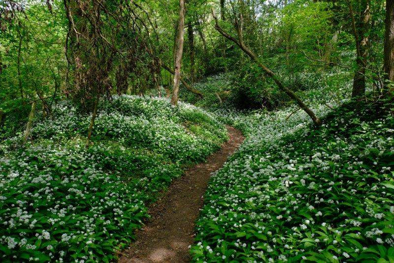 More wild garlic