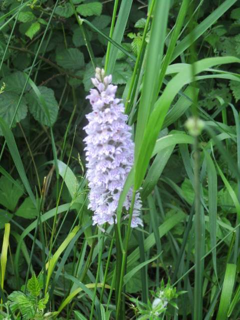 An enormous spotted orchid