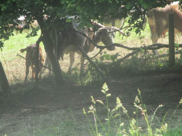 Some of the cattle seek the shade