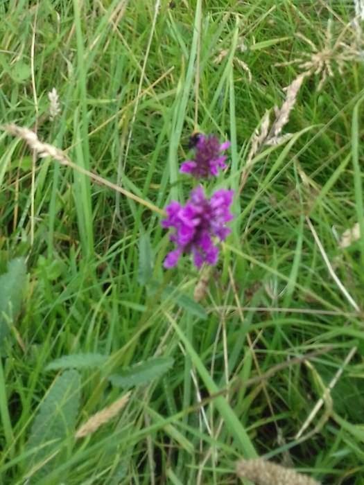 Purple Betony  (Stachys Officinalis)