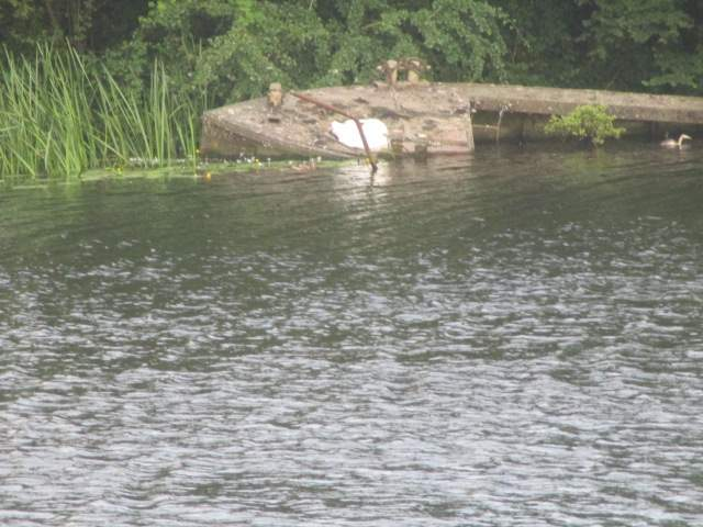 A swan uses this old boat for a nest, with a grebe as a guard