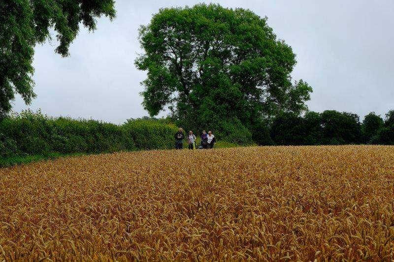 Along the side of a field of wheat before going down into the valley