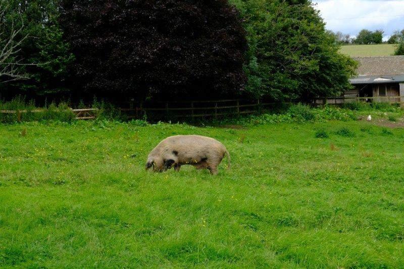 Nice big sow