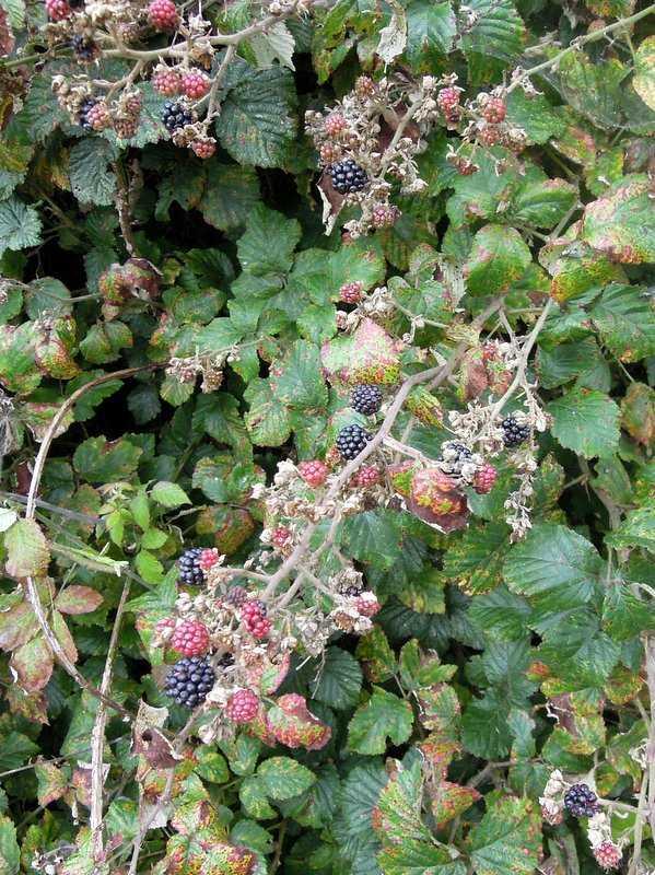 ... the blackberries