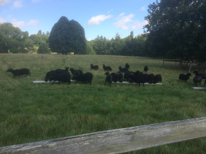 More than one black sheep