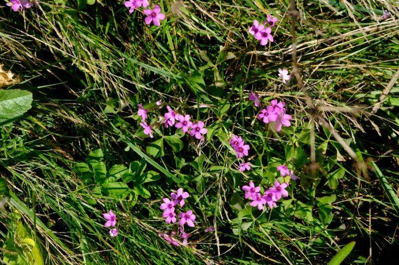 Pink sorrel (thanks, Angela)