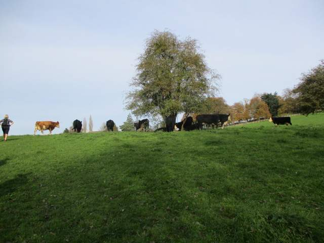 And head up through the cows towards Sheephouse