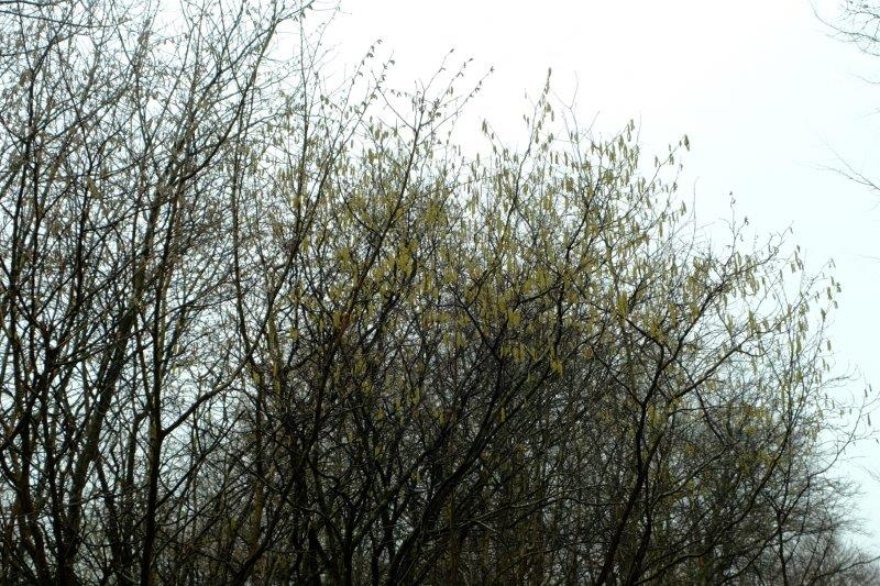 And to look at the catkins