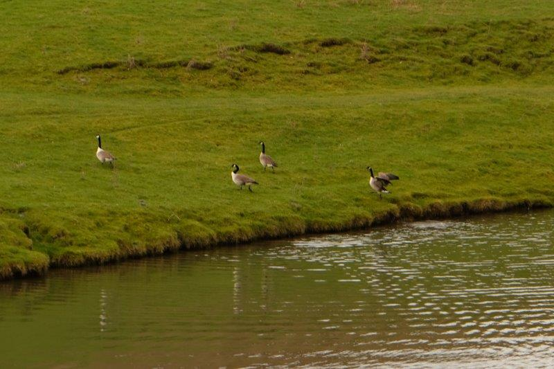 Where the geese are playing