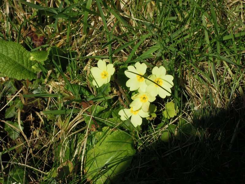 …and the promised primroses are there