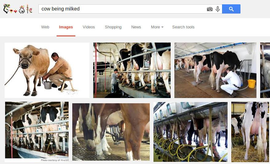 Cows being milked