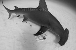 "A great hammerhead shark swims by a Project AWARE ""Extinction is NOT an Option"" sign, Bimini, Bahamas. Photo credit: Neil Hammerschlag"