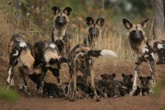 African Wild Dogs. Photo courtesy Rosemary Groom