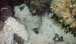 Hoff Crabs and Stalked Barnacles on the East Scotia Ridge. NERC.