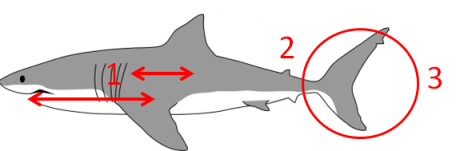 A great white shark with relevant features marked. Original image via Wikimedia commons (User Kurzon) http://en.wikipedia.org/wiki/File:Great_white_shark_size_comparison.svg