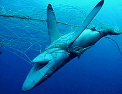 Shark in an illegal drift net. Photo by Seawatch.