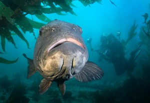 Giant seabass, photo courtesy Brian Clark