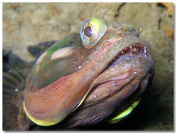 Sarcastic Fringehead. Image from http://www.thefeaturedcreature.com/