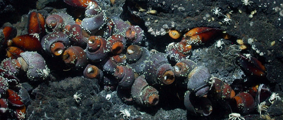 Ifremeria nautilei from the Manus Basin. Source: MARUM