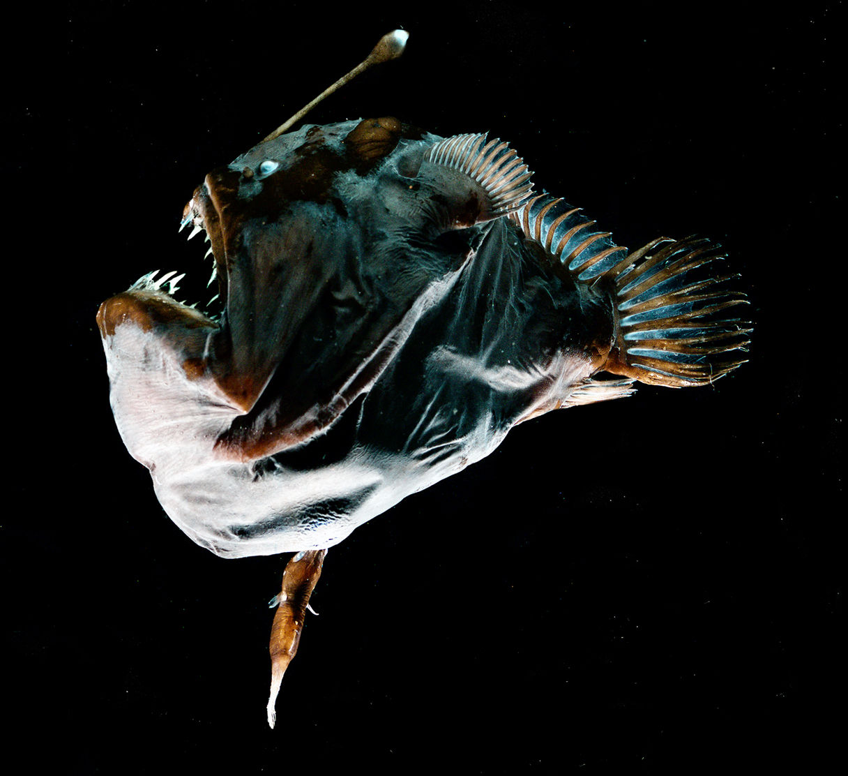 Busting Ocean Myths This Anglerfish Is Not As Kink As You -2247