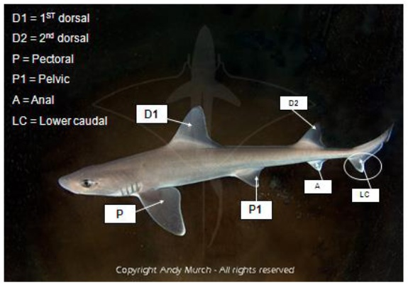 """The """"prime cuts"""" of a smooth dogfish.  Image from Hawk et al. (2014)."""