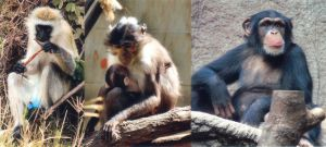 Left to right: the African green monkey source of SIV, the sooty mangabey source of HIV-2 and the chimpanzee source of HIV-1 Photo Credit:  Graham Colm