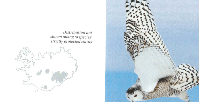 From Icelandic Bird Guide.