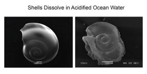 Healthy Pretopod shell (left) and degraded Pteropod shell due to ocean acidification (right). (Photo credit: NOAA [climate.gov])