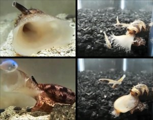 The cone snail, C. geographus attacking a fish in sequence (sequence: top left, bottom left, top right, bottom right). (Photo credit: Jason Biggs and Baldomero Oliver)