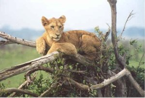 This is not Cecil the lion. I shot this lioness in 2000 in Tanzania... with a digital camera.