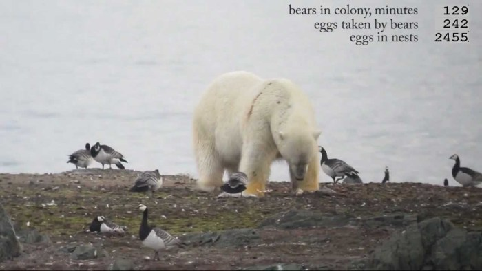 polar-bears-eating-eggs
