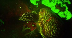 Fluorescing hawksbill sea turtle. (Photo credit: David Gruber, of City University of New York)