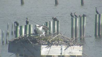 Osprey in a nest on the campus of the Virginia Institute of Marine Science (Photo Credit: VIMS)