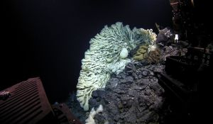 Lateral view of a large hexactinellid sponge found in Papahānaumokuākea Marine National Monument (Photo credit: NOAA's Office of Exploration and Research)