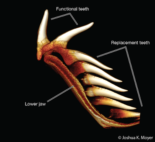 Figure 3- A 3-D reconstruction made from a CT scan of a tooth file from a Great White Shark (Carcharodon carcharias). When functional teeth fall out, a replacement tooth moves in to take its place. Sharks have a never-ending supply of teeth as they are always growing new ones.