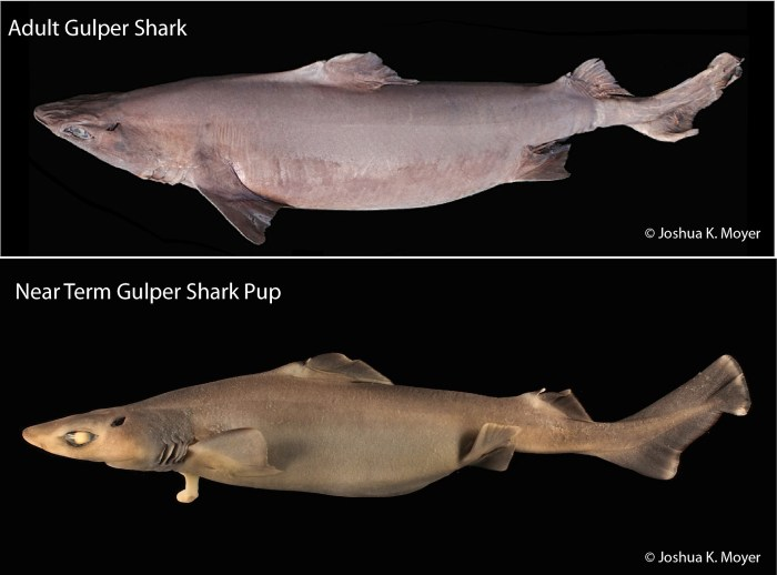 An adult Gulper Shark, Centrophorus granulosus, obtained during a NMFS bottom trawl survey and a near term pup of the same species.