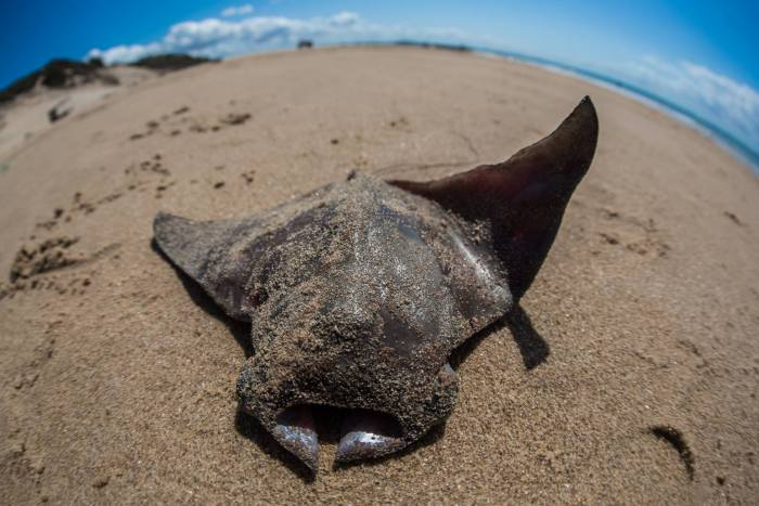 A newly born devil ray discarded after being caught. © Daniel Van Duinkerken — http://danielvandphoto.com — Instagram: daniel.van.d