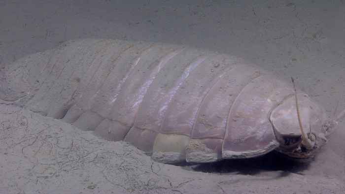 A giant deep sea isopod on the sea floor. Photo via NOAA Photobank.