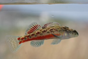 Vermilion darter, photo courtesy Tennessee Aquarium