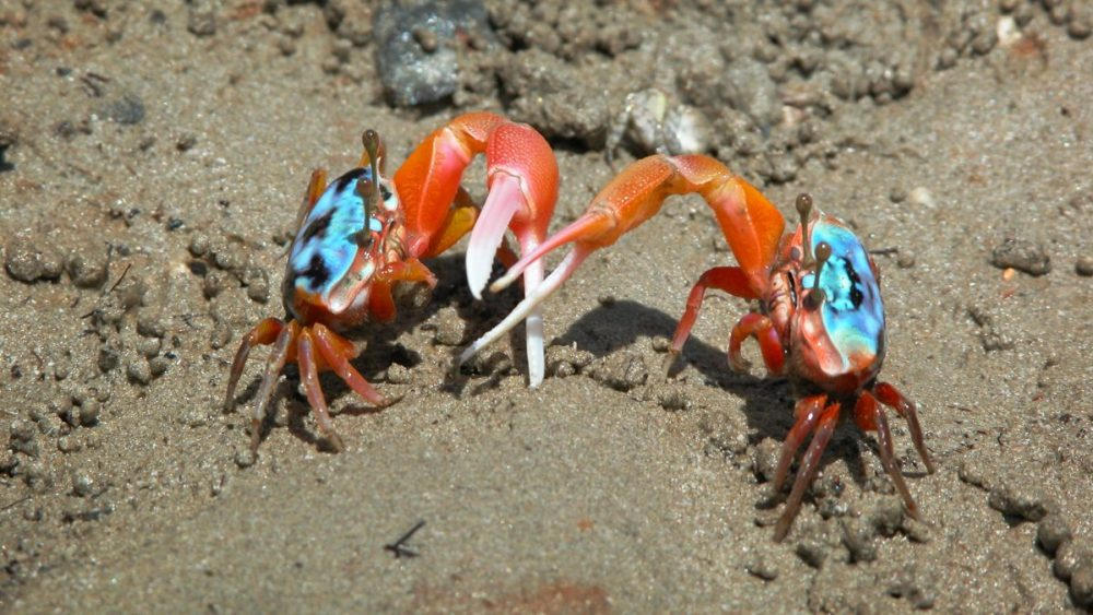 Elegant fiddler crabs like the ones shown here are scurrying into banana fiddler crab territory, creating confusing social situations. Photo by Pat Backwell