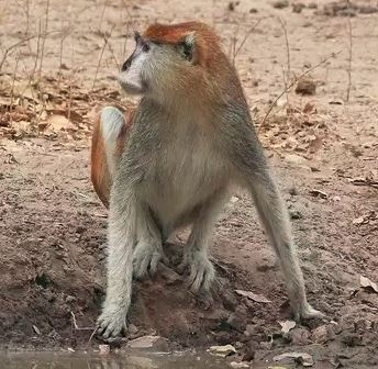 The Patas Monkey has a distinctive, Lorax-like mustache. Charles J Sharp, Wikimedia