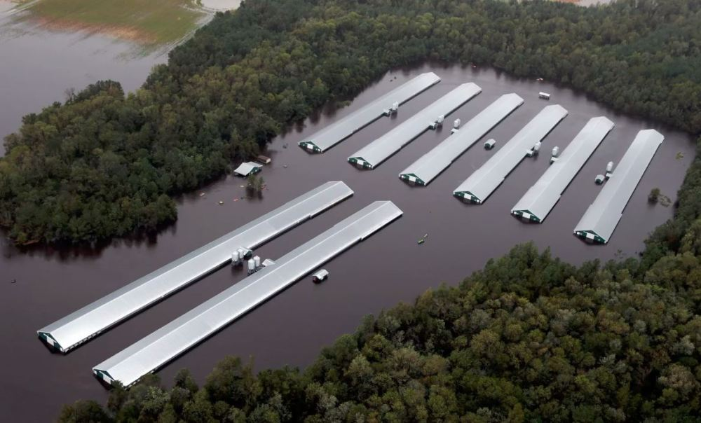 Chicken farm buildings are inundated with floodwater near Trenton, North Carolina. Photo: AP