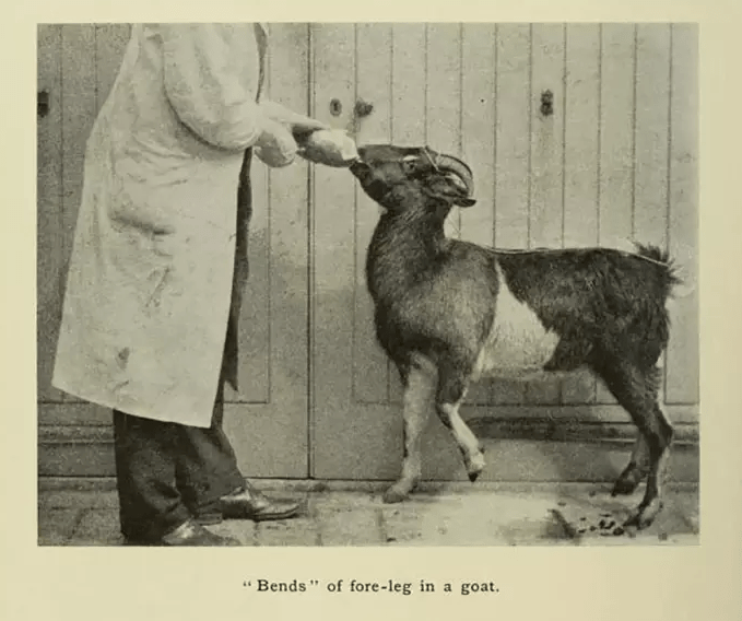 Bends in the foreleg of a goat after experiments performed by physiologist John S. Haldane, published in the Journal of Hygiene Vol. 8, 1908.