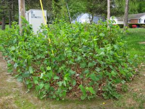 This shows what a Japanese Knotweed plants look like now, they are about 4 feet high.