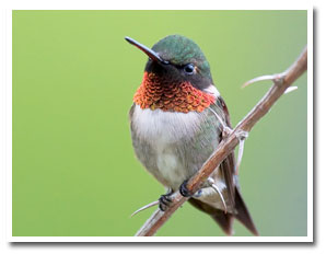 May: Ruby Throated Hummingbird