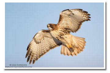 redtailedhawk-