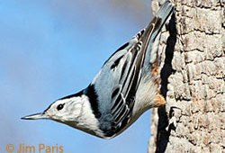 January Bird: White Breasted Nuthatch