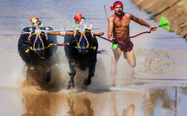 Kambala festival buffalo race in Mangalore, India