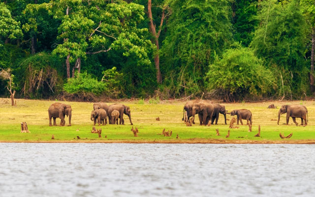 Elephants on the banks of Kabini river, Nagarhole, Karnataka, India.