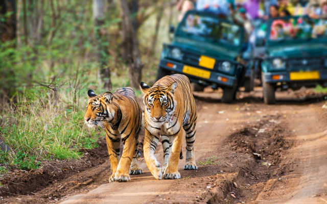 "Bengal tigers, also called ""Royal Tiger"", walking on a road in the green jungle. In the background a car with tourists and photographers is visible."
